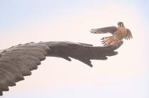Kestrel on the Eagle