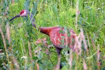 Wisconsin Sandhill Crane