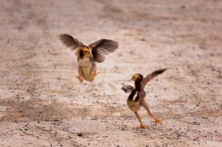 Fighting chicks