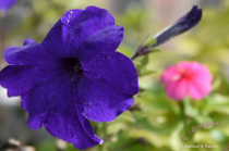 Garden Petunia in town... Macro