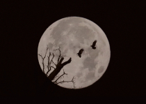 Turkey Vultures and A Full Moon