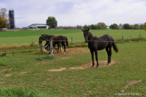 4 Amish horses grazing...
