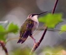 Hummindbird