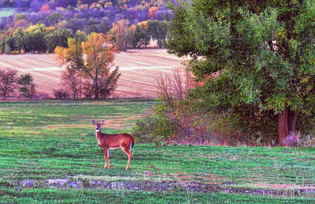 Deer In Autumn Field