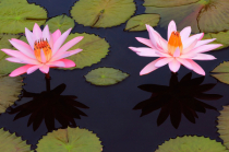 Pink Waterlilies and Shadows