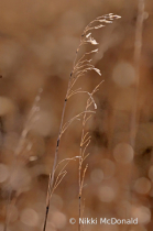 Autumn Walks, Prairie Grasses
