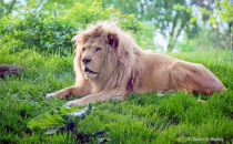 Lion at the Toledo Zoo in 2013.