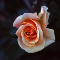 Another Peachy Rose