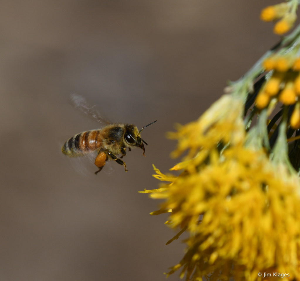 Bee Approaching a Rabbitbrush Blossom