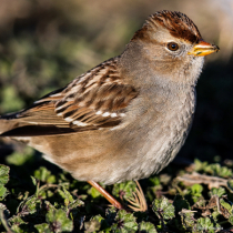 White-crowned Sparrow 1st Winter