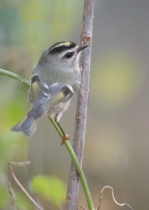 The Back of the Golden Crowned Kinglet