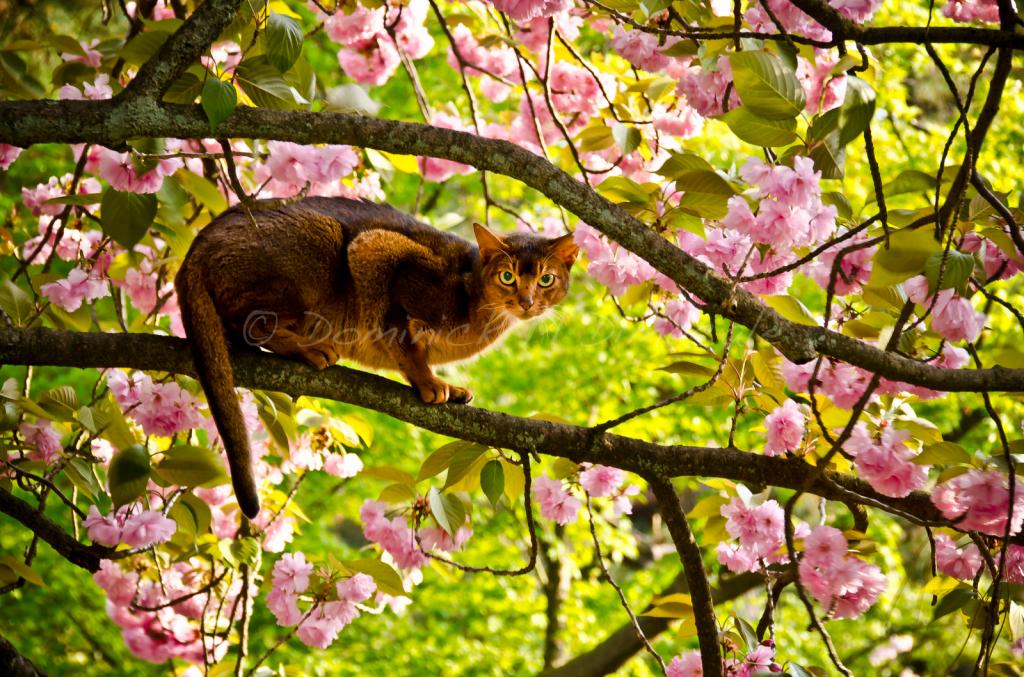 ~ ~ CHERRY BLOSSOM CAT ~ ~