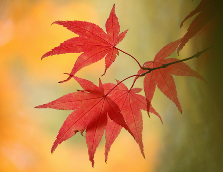 Light red maple leaves with orange background