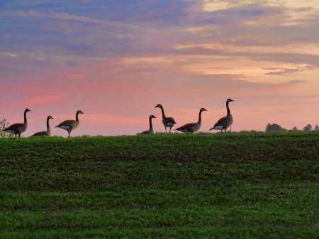 Geese On The Hill At Sunrise