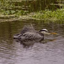 Great blue heron - Sweetwater Wetlands Park