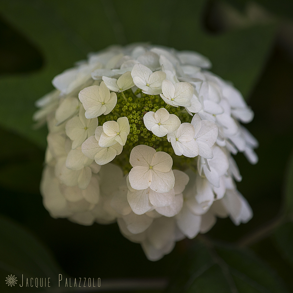 WhiteBlossoms