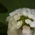 2WhiteBlossoms - ID: 15874034 © Jacquie Palazzolo