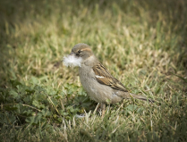 Sparrow collecting nesting material