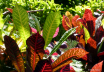 Tropical leaves, Kauai