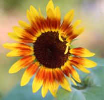 Sunflower Curls