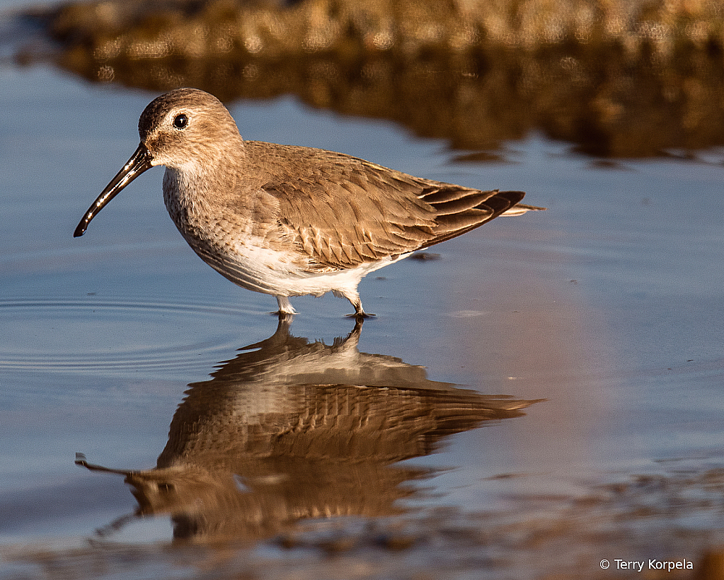 Spotted Sandpiper Without the Spots