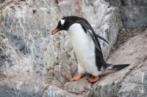 Nest Building Gentoo Penguin