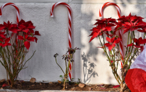 POINSETTIAS AND CANES