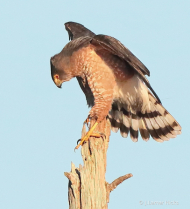 Coopers Hawk- Pose