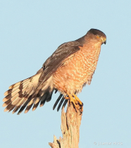 Coopers Hawk- Pose-2