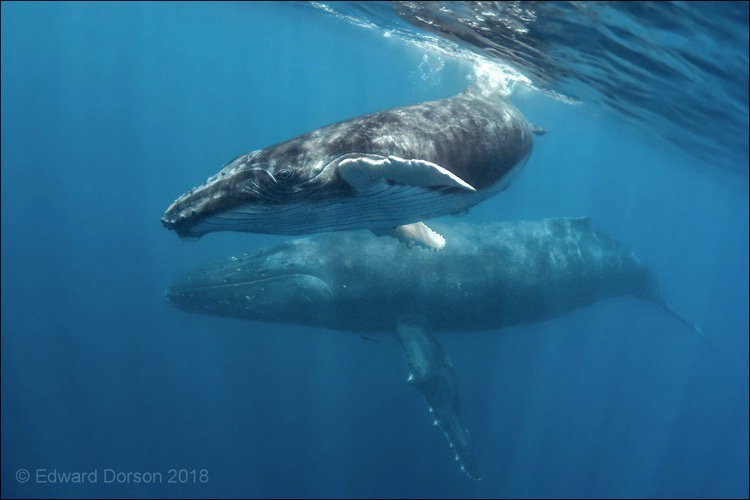 Humpback Whale Calf with Mother - ID: 15876163 © Edward Dorson