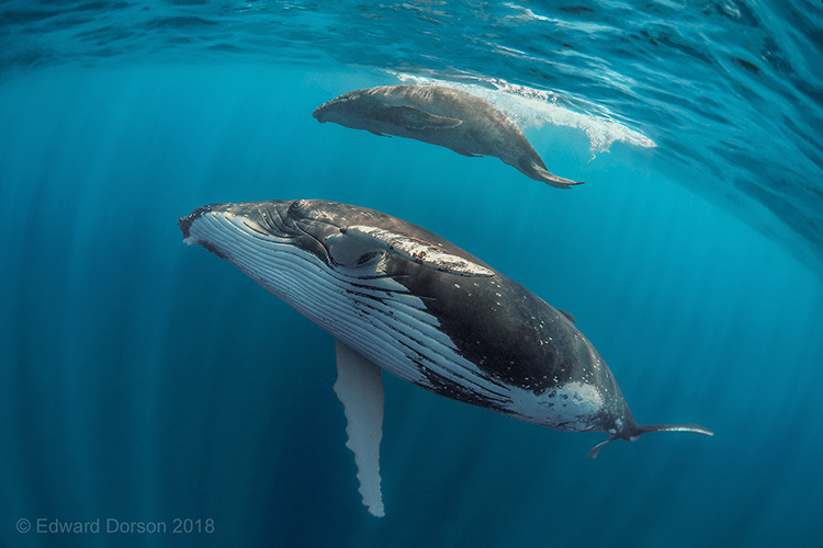 Humpback Whale with her Calf - ID: 15876164 © Edward Dorson