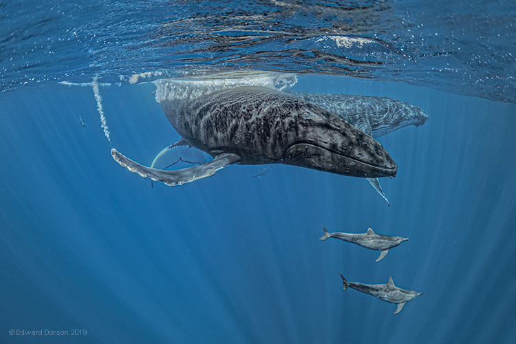 Humpback Whales and Rough-toothed Dolphins - ID: 15876165 © Edward Dorson