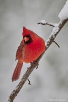 Cardinal in Snow (1)