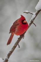 Cardinal in Snow (2)