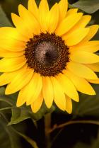 Late Summer Sunflower 8-30-20 181