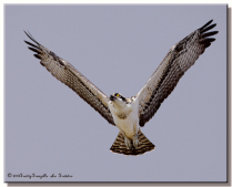 Osprey ( From My Lost Files )
