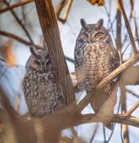 Sleepy Long Eared Owls in the Woods