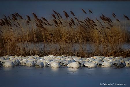 Sleeping Snow Geese