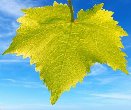 Vine Leaf.