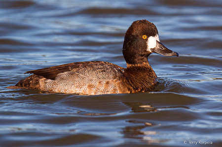 Greater Scaup (Male eclipse)