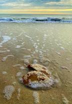Barnacle Encrusted Horseshoe Crab