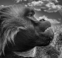Portrait of a Gelada