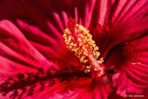 Hibiscus Internal Parts