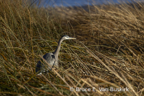 Blue Heron in the brush