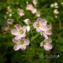 Little Spring Beauties
