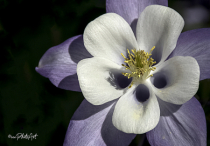 Lilac Ice Columbine