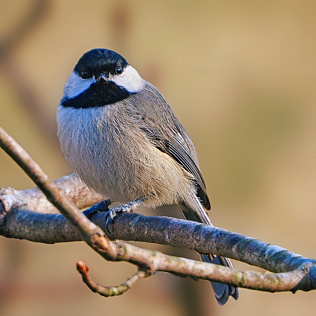 Black Capped Chickadee - ID: 15879052 © Janet Criswell