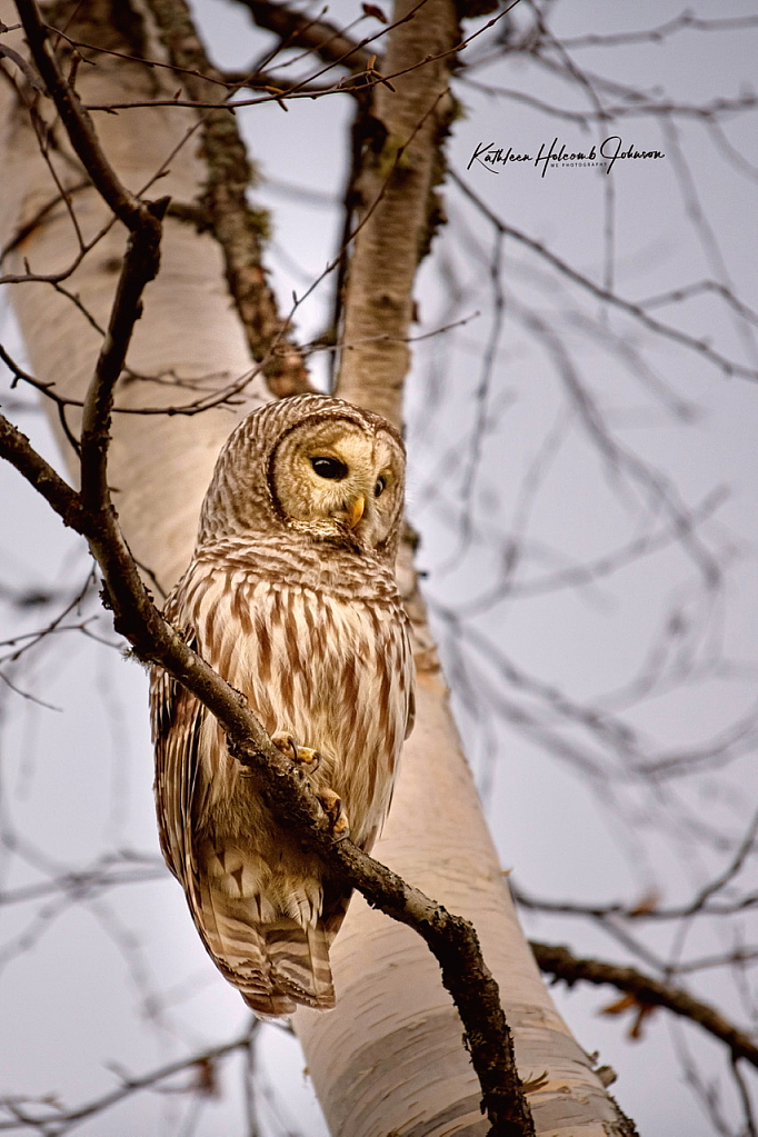 Barred Owl - A Privilege Granted! - ID: 15879082 © Kathleen Holcomb Johnson
