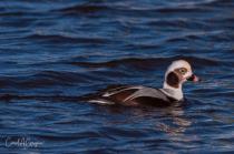Longed-Tail Duck