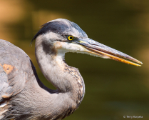 S Curve on a Great Blue Heron Portrait